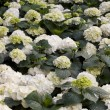 Royalty-Free Stock Photo: Hydrangea