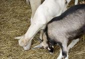 Sheep graze the hay — Stock Photo