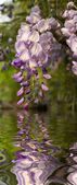 Close up of Wisteria reflected on the water — Stock Photo