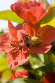 Bee inside a red flower — 图库照片