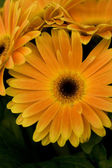 Orange daisies — Stock Photo