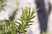 Rosemary flavor — Stock Photo