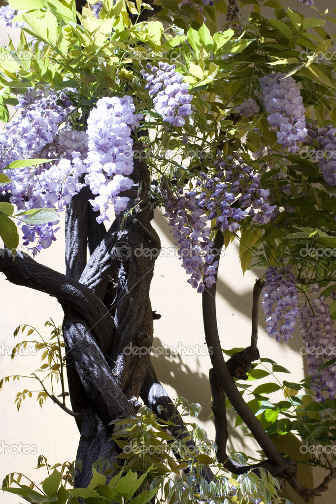 Tree of Wisteria  — Stock Photo #1457089