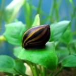 Tiger snail — Stock Photo
