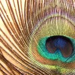 Stock Photo: Peacock feather