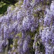 Stock Photo: Lilac flower tree on spring time