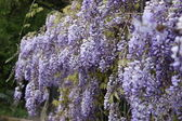 Lilac flower tree on spring time — Stock Photo