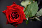 Rose on the black — Stock Photo