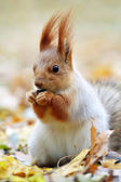 Red squirrel eats seeds. — Stock Photo