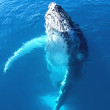 Portrait of a majestic humpback whale — Stock Photo