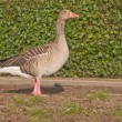 Lone goose standing on grass — Stock Photo