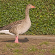 Stock Photo: Lone goose standing on grass