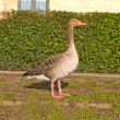 Lone goose standing in urban area — Stock Photo