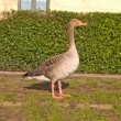 Stock Photo: Lone goose standing in urbarea