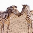 Stock Photo: Two africZebrkissing -copy space