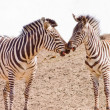 Two africZebrkissing -copy space — Stock Photo #1460820