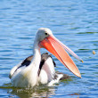 An Australian Pelican catching food — Stock Photo