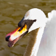 Royalty-Free Stock Photo: One angry swan telling you who is boss
