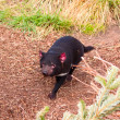 A fierce Tasmanian Devil running — Stock Photo