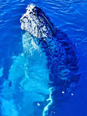Majestic Humpback Whale up close — Stock Photo