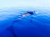 Humpback whale in the deep blue ocean — Stock Photo