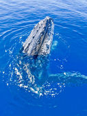Majestic humpback whale looking out — Stock Photo