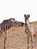 Two African Zebra biting playfully — Stock Photo