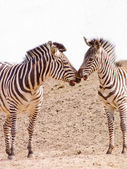 Two african Zebra kissing -copy space — Stock Photo