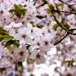 Almond blossom — Stock Photo #1460294
