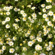 Flowers of camomile — Stock Photo