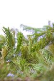 Sfondo albero di pino — Foto Stock