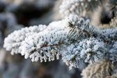 Fir tree brunch met sneeuw — Stockfoto