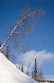 Tilt birch on wilderness slope — Stock Photo