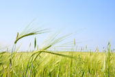 Close-up of the field with green oats — Stock Photo