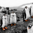 Group of penguin chicks — Stockfoto