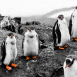 Group of penguin chicks — Stock fotografie