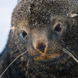 Sad Fur Seal — Foto Stock