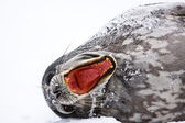 Screaming Seal — Stock Photo
