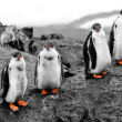 Stock Photo: Group of penguin chicks