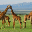 Royalty-Free Stock Photo: Giraffes