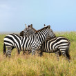 Постер, плакат: Two zebras the harmony