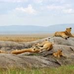 Pride of lions — Stock Photo