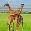 Two giraffes - Stock Photo