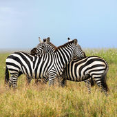 Two zebras, the harmony — Stock Photo