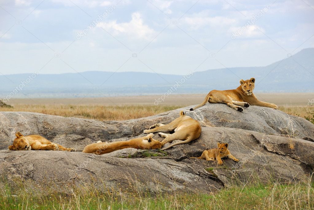 Resting lionesses and lion cub — Stock Photo #1472869
