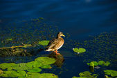 Duck on the river — Stock Photo