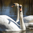 Stock Photo: Swans