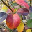 Autumn leaves on tree - Foto de Stock