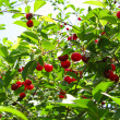 Cherry-tree - Stock Photo