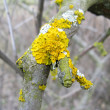 Yellow lichen — Stock Photo